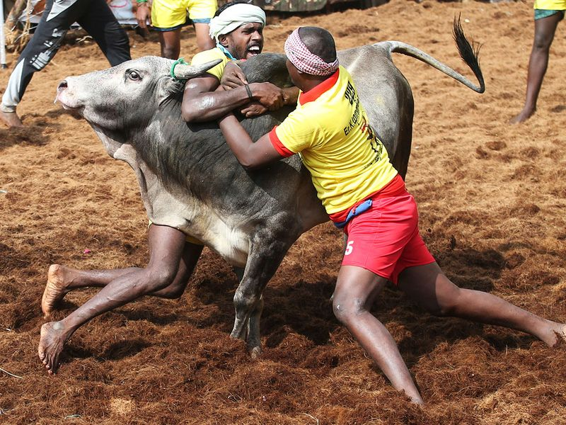 Tamers try to control a bull