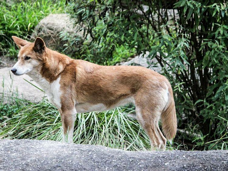 190128 dingo