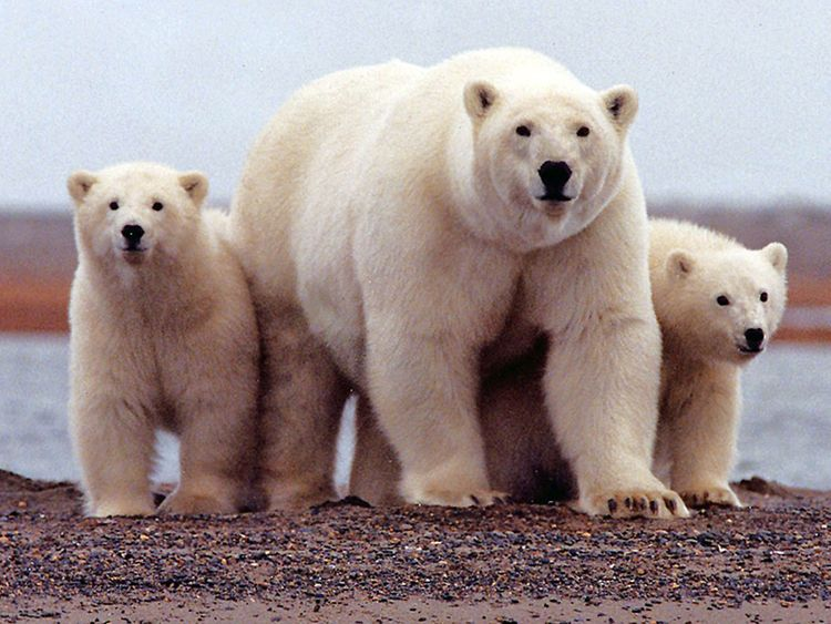 190209 polar bear