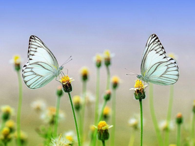 butterfly generic