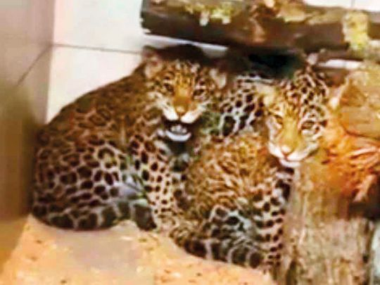 NAT-190218--Jaguar-cubs-1-(Read-Only)