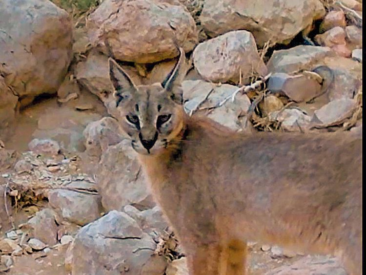 190223 Arabian Caracal