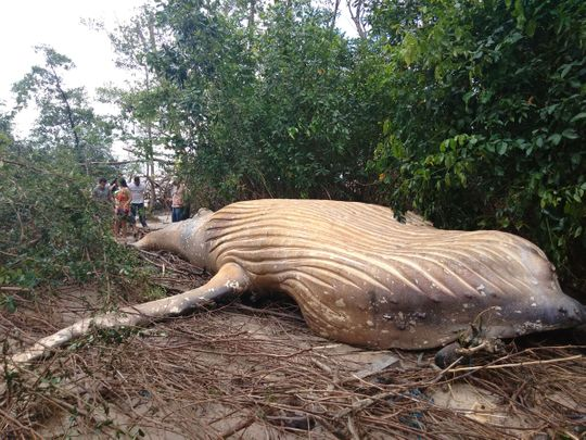 Humpback whale found in Brazilian forest