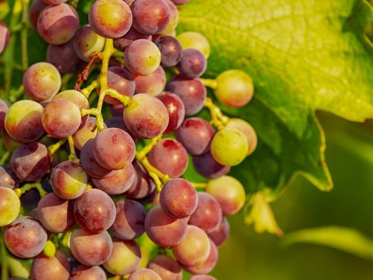 Grapes, generic