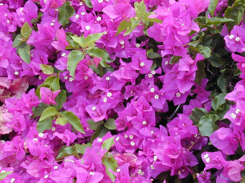 Bougainvillea are the most common flowers in the UAE