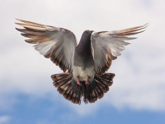 190318 Pigeon