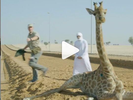 RDS_190403-Shaikh-Hamdan-giraffe-3-1554280159108