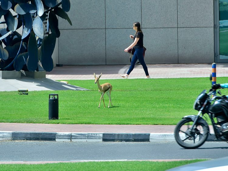 Deer at DIFC
