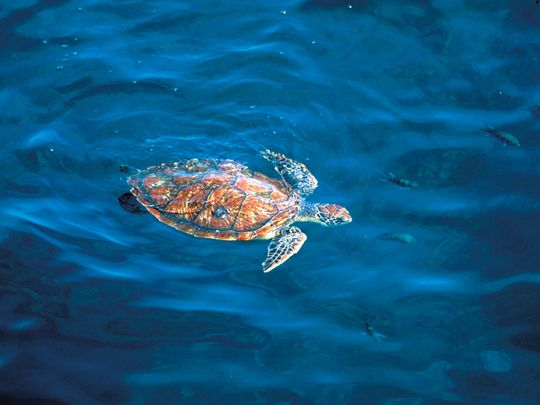 NAT-Hawksbill-turtle11-(Read-Only)