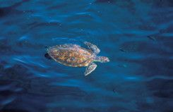 NAT_Hawksbill_turtle11-1556019473064