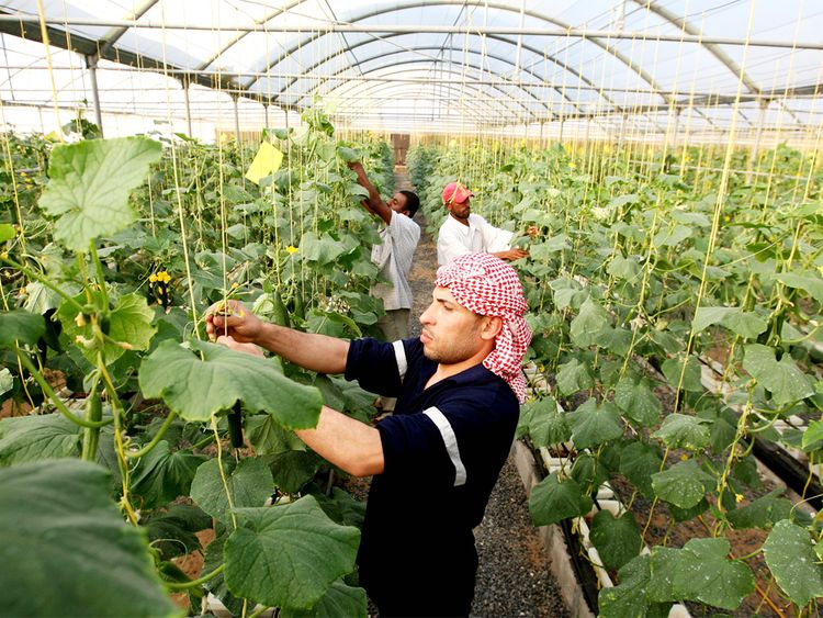 A worker at a cucumber farm in Dhaid