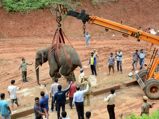A tranquilized wild Indian elephant