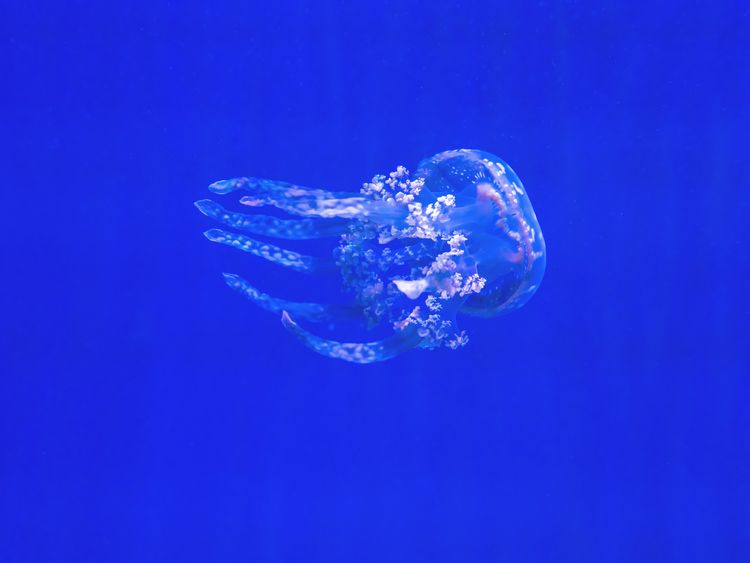 Jellyfish, generic