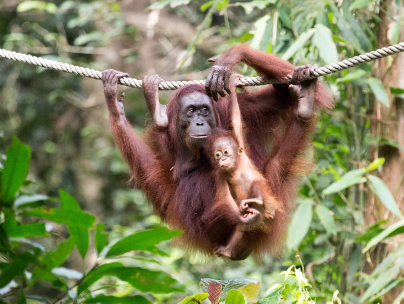 tab_Borneo_-_Sepilok_iStock-1143264307-1556718476933