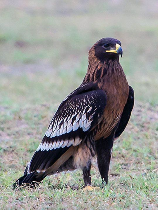 NAT-190513-Greater-Spotted-Eagle-(Read-Only)