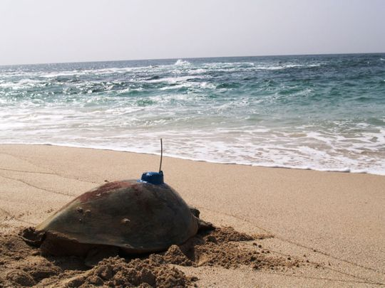 NAT-190522-Turtle-Tagging-34-(Read-Only)