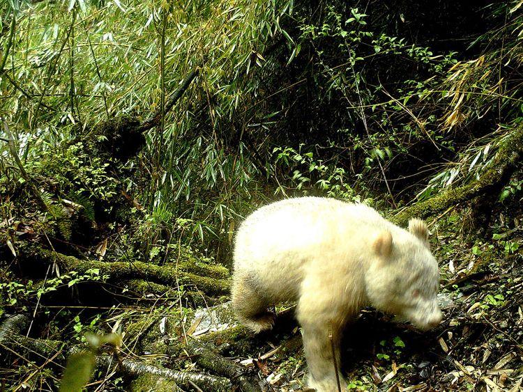 190526-Albino-Panda
