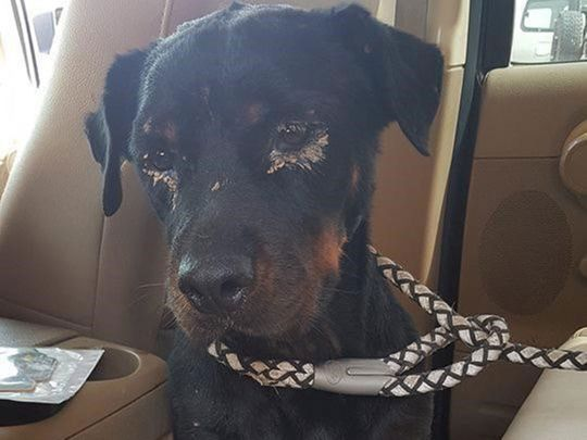 Dog fighting in UAE? Incident of abused Rottweiler pup prompts ministry to issue warning | Crime ...