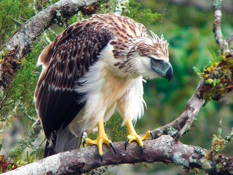 Manila urges support for other nations for conservation of Philippine eagle