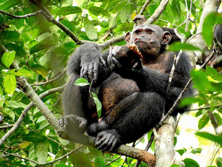190605 Chimp