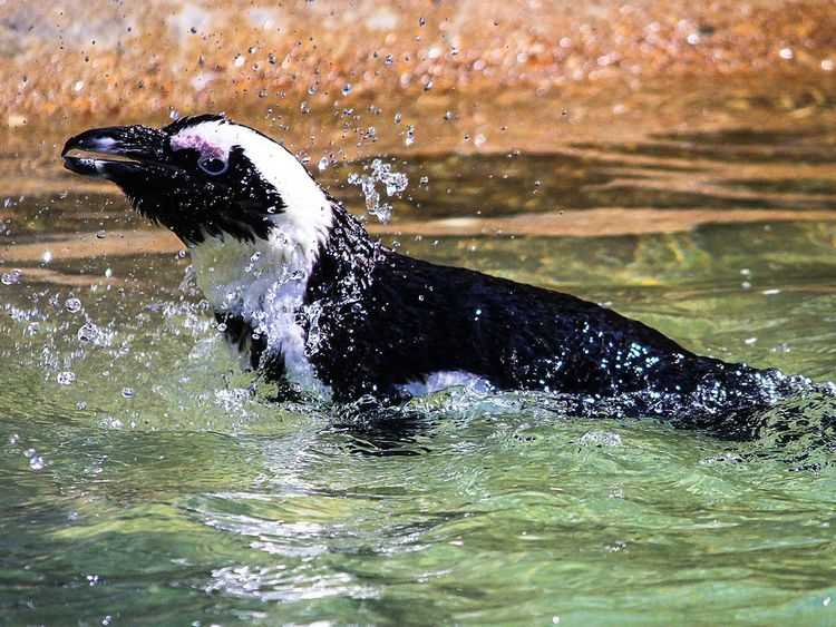 penguin-447714_1920