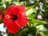 OPN A hibiscus-1560592725516