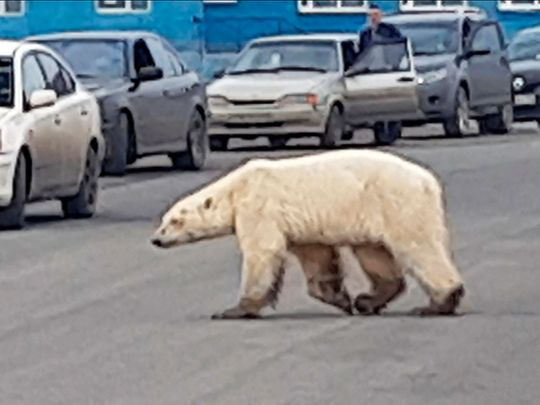 Russia_Polar_Bear_50591