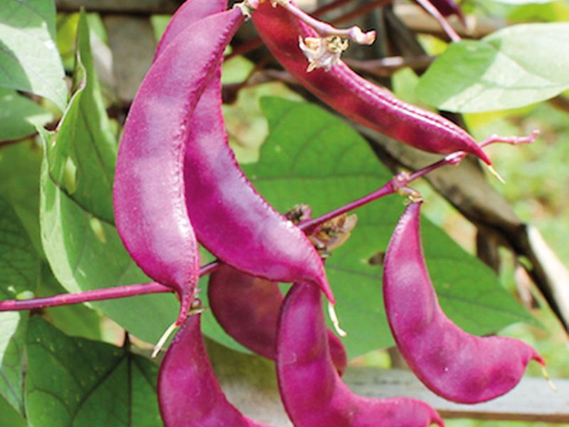 WIN-190623-Indonesian-Purple-winged-bean-(Read-Only)