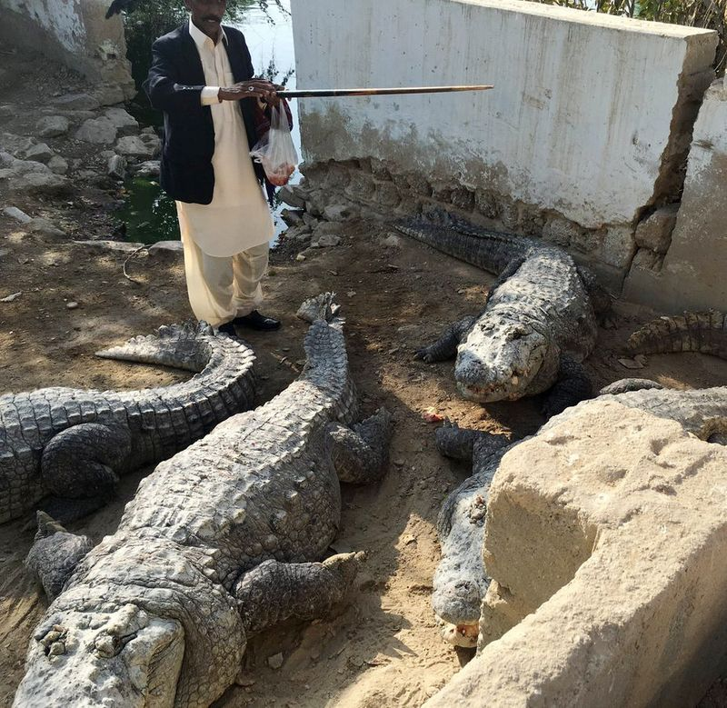 RDS_190624 Crocodile in temple - Mangho Pir-1561381902188