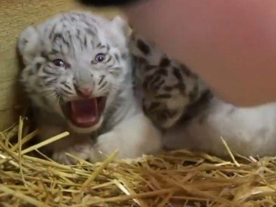 RDS_190627 Tiger cub-1561630952196