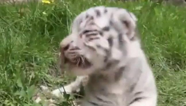 RDS_190627 Tiger cub 2-1561630950414