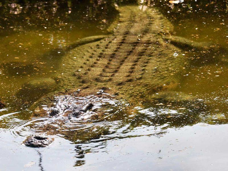 190628 crocodile 2
