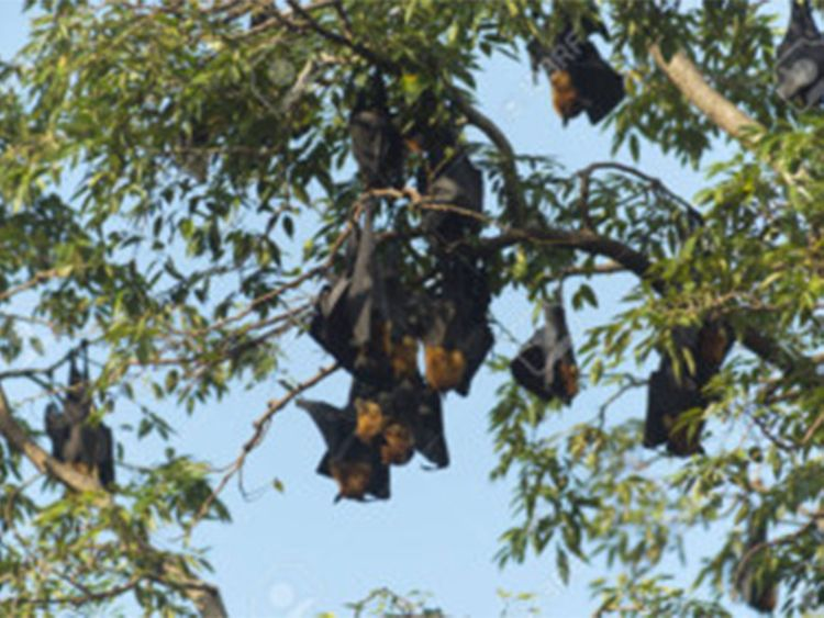 opn Bats hanging from trees-1561891297764