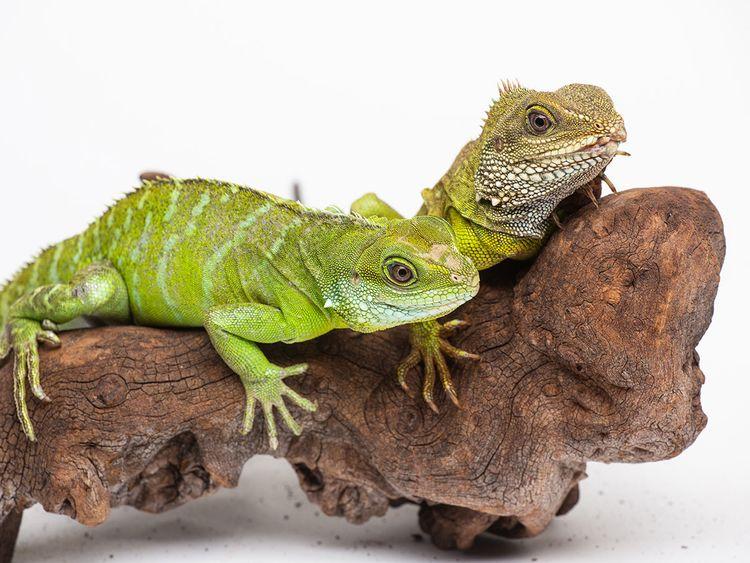 kidspost-lizard-3454b59a-9b5f-11e9-b27f-ed2942f73d70-(Read-Only)