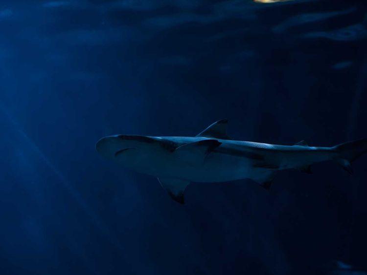 190702 shark