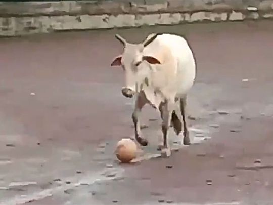 Cow playing football.