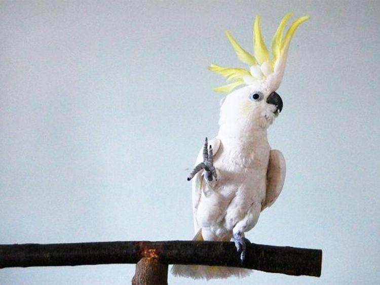 Dancing parrot Snowball