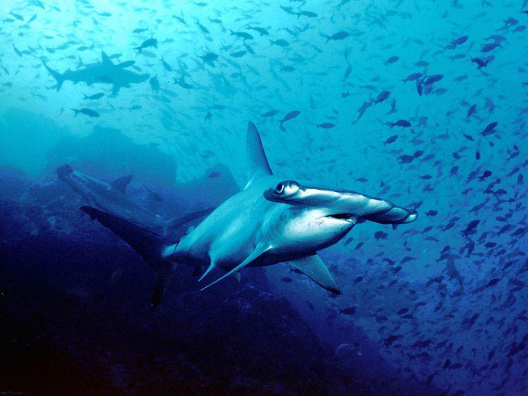 10 Sharks that live in the Arabian Gulf | Uae – Gulf News