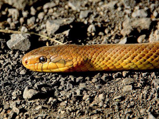 snake generic
