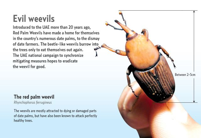 UAE wages war on deadly beetle | Environment – Gulf News
