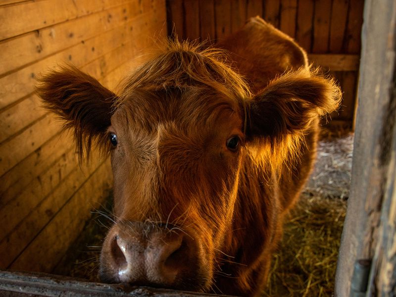 THERAPY-COWS-4-(Read-Only)