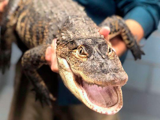 Alligator-Chicago_42263