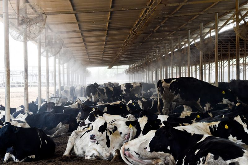 How UAE dairy farms ensure heat doesn't dry up milk yield