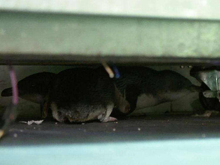 Penguins hide under fridge at a sushi shop in Wellington