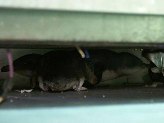 Penguins hide under fridge at a sushi shop in Wellington