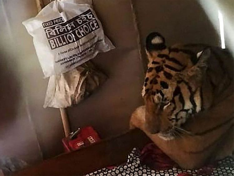 Bengal tiger on bed