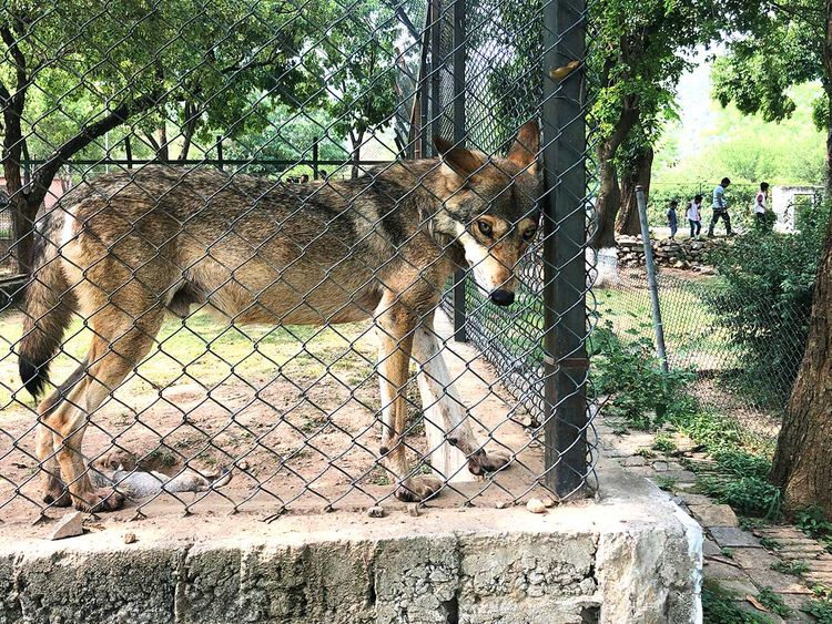 Skinny wolves, sick bear: Pakistan officials wrangle over