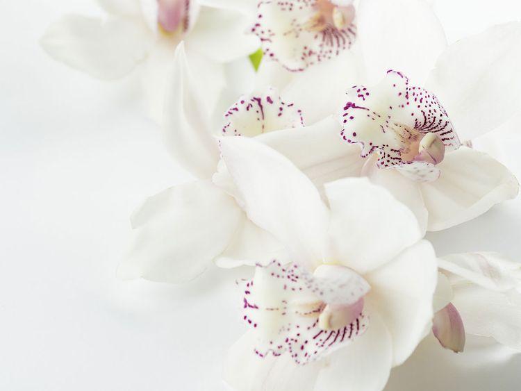 Orchid, generic