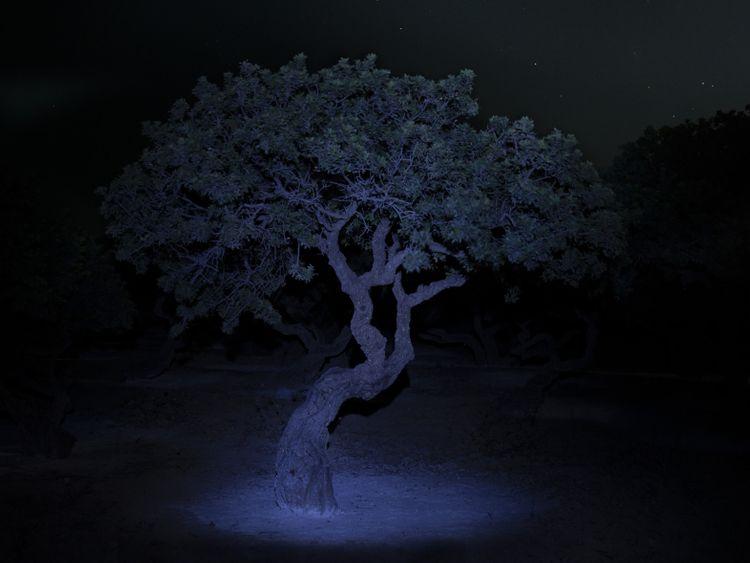 Mastic tree at night-1564310060130