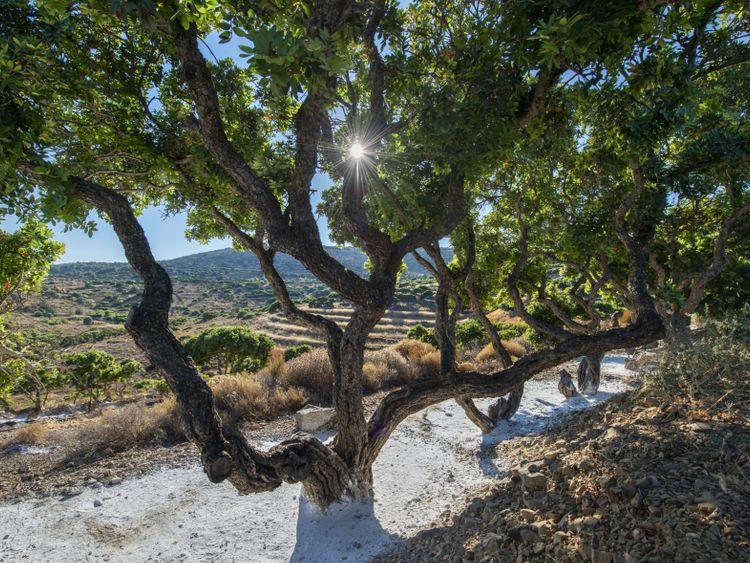 Mastic tree with calcium-1564310071221